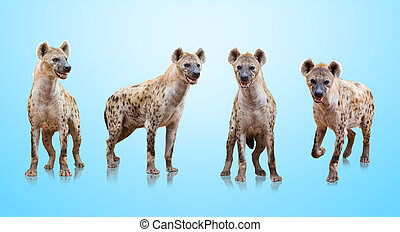 Group Of Hyenas Isolated On Blue Background