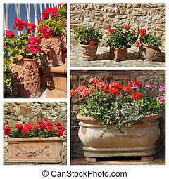 group of images with flowering geranium plants in various cerami