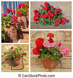 group of images with flowering red geranium plants in pots, Ital