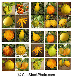 group of images with various citrus fruits growing in historic o