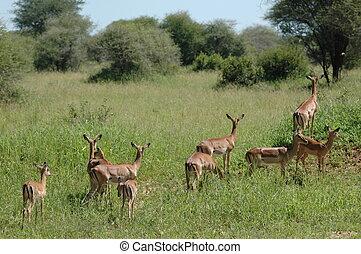 Group of impalas in Tarangire