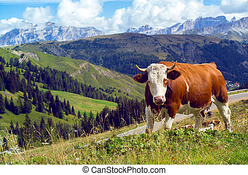 italian cows on a pasture