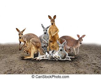 kangaroo standing on the ground