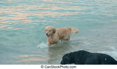 Group of labradors swimming and having fun in the sea at the sunset
