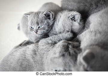 Group of laying cats. British shorthair.