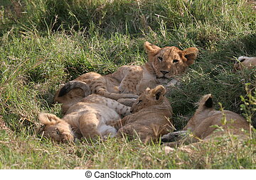 Group of lions laying in high grass (Serengeti National Park).