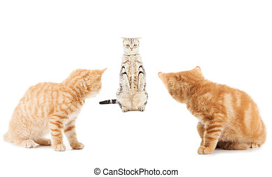 group of little Ginger british shorthair cats over whtie backgro