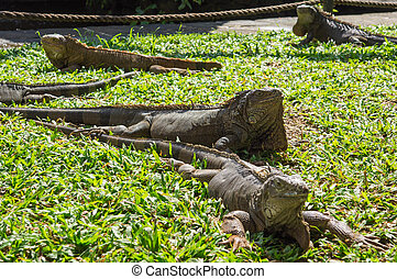 Group of lizards on a grass in a sunny day