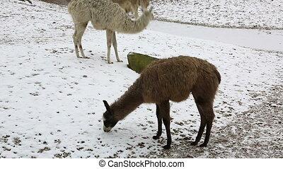 Group of llamas feeding in winter - Herd of llamas grazing...