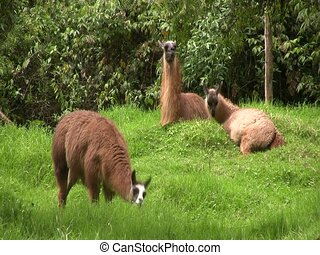 Group of llamas in the Ecuadorian Andes - In cloudforest in...