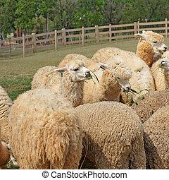 alpaca in the farm