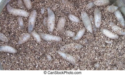 Group Of Maggots Acheta Domesticus Insect Larvae, Bait for Fishing Rod.