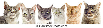 group of maine coon cats on a white background