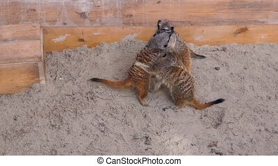 group of meerkats fighting with each other in a playful way, Animal behavior, tropical specie from Africa