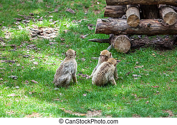 Group of monkeys in the Tbilisi zoo