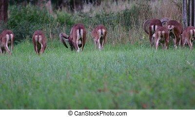 Group of mouflons. The mouflon Ovis orientalis orientalis group is a subspecies group of the wild sheep