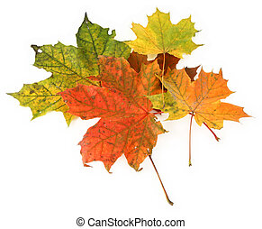 multicolored maple leaves