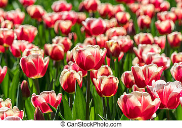 Group of nice red and white tulips