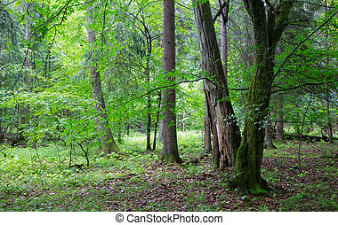 Group of old trees and old natural deciduous stand