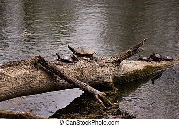 group of painted turtles.