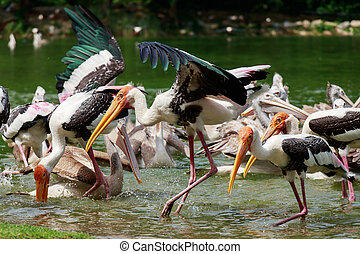 Group of pelicans catch fish from lake river. Pelican bird wallpaper , background
