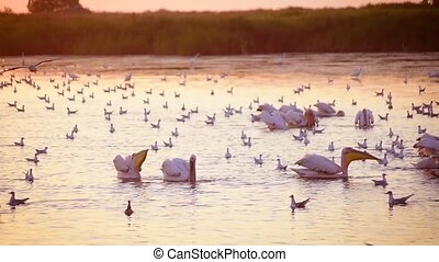 Group of pelicans fishing and hunting together in water at dawn