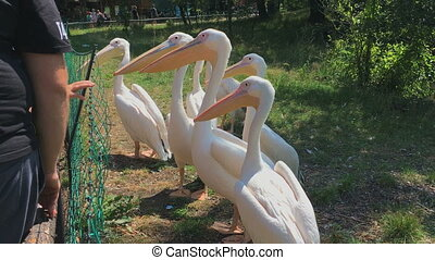 Great White pelicans. Side view - Group of Pelicans in the...