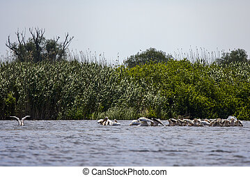 group of pelicans looking for food in the Danube Delta, Romania