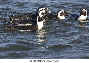 group of penguins swimming in Namibia