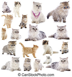 persian cats - group of persian cats in front of a white...