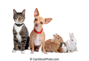Group of pets - European shorthaired cat, chihuahua dog, ...