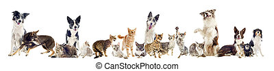 group of pets - group of purebred cats and dogs on a white...