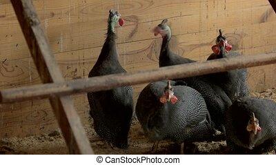Group of pheasants walking on farm.