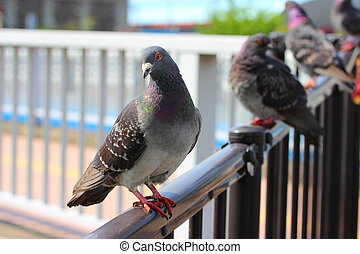 group of pigeons in the city, Japan