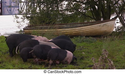 Group of pigs eating off the ground with a boat behind them...