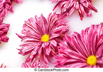 Group of pink chrysanthemum flowers
