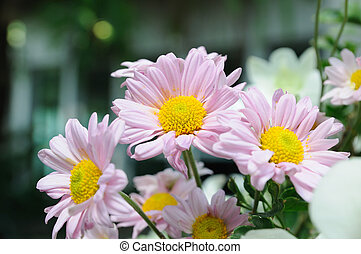 Group of pink daisies flowers.