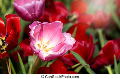Group of pink tulips in the park