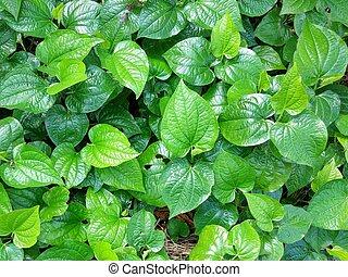 Piper sarmentosum - group of Piper sarmentosum