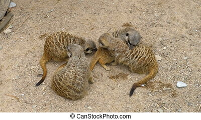 Group of playful Meerkats play with each other. Thailand -...