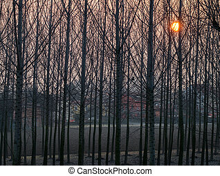 group of poplars at sunset