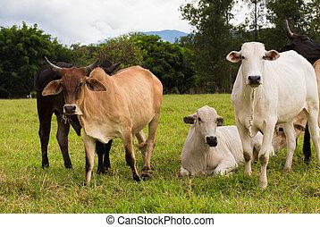 brazilian cows on a pasture