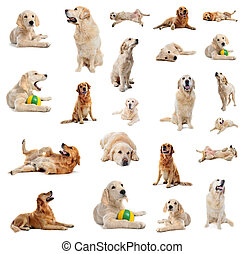group of purebred golden retriever and puppy in front of a white background