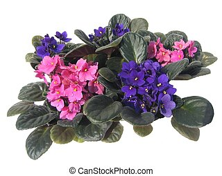 Group of purple and pink African violets (Afrika meneksesi)isolated on white