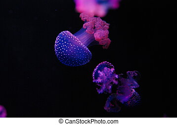 Group of purple jellyfish swimming in a black background