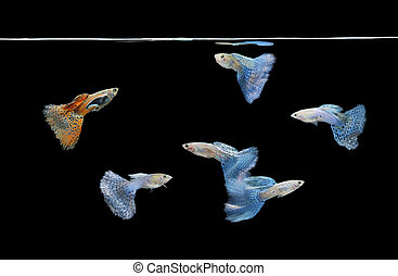 group of red and blue guppies swimming