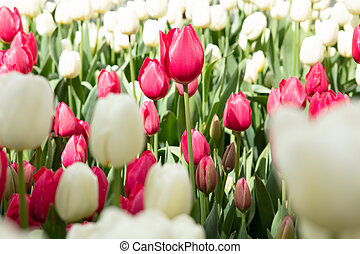 Group of red and white tulips in the garden