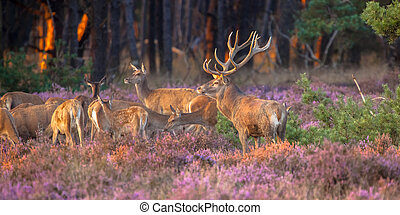 Group of red deer - Male red deer (Cervus elaphus) guarding...