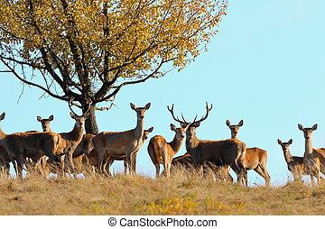 group of red deers in mating season