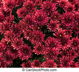 Group of red flowers close up